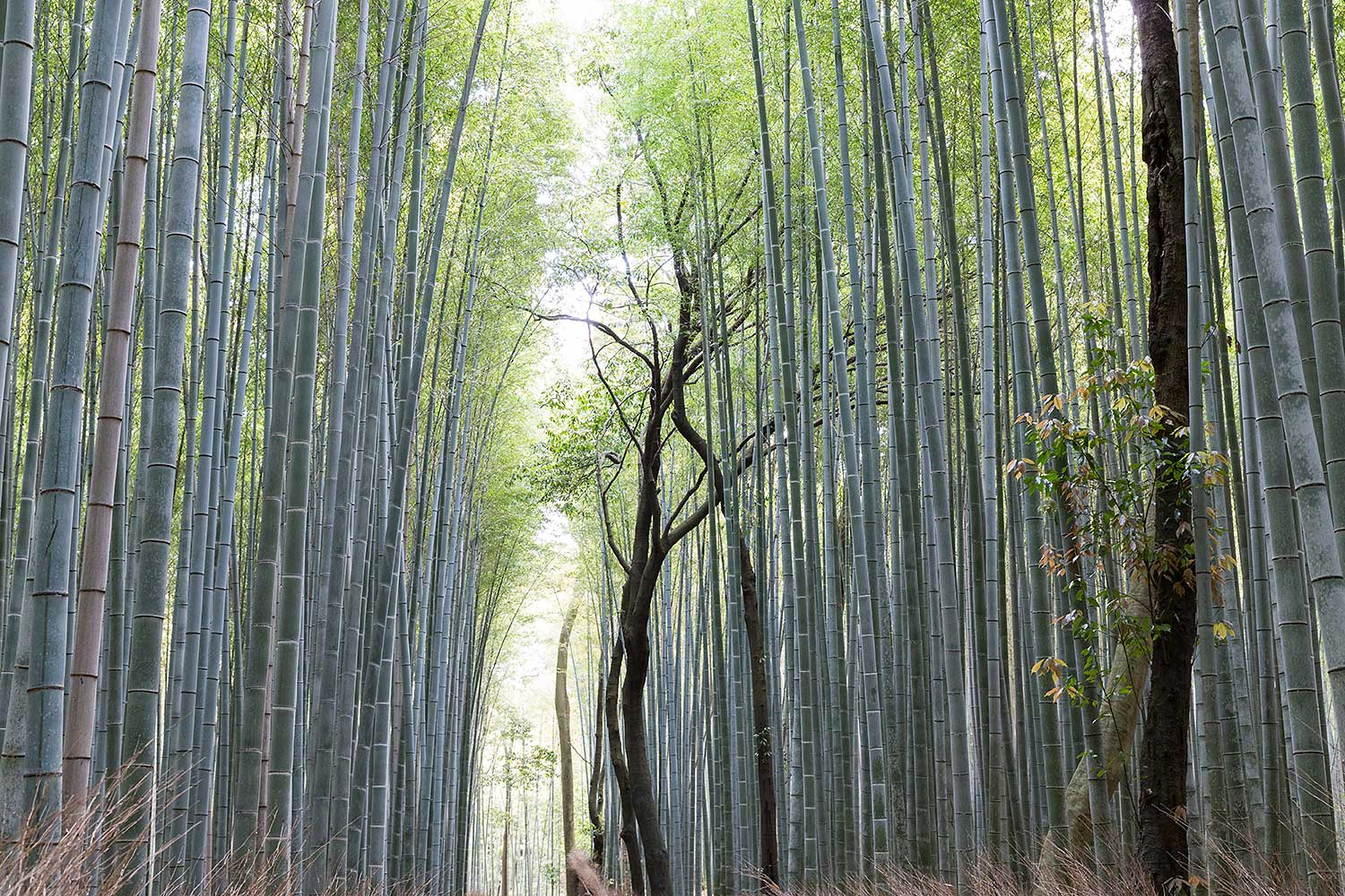 Sagano Bamboo Forest . Japan