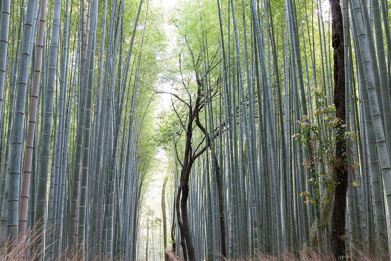 Sagano Bamboo Forest . Japan