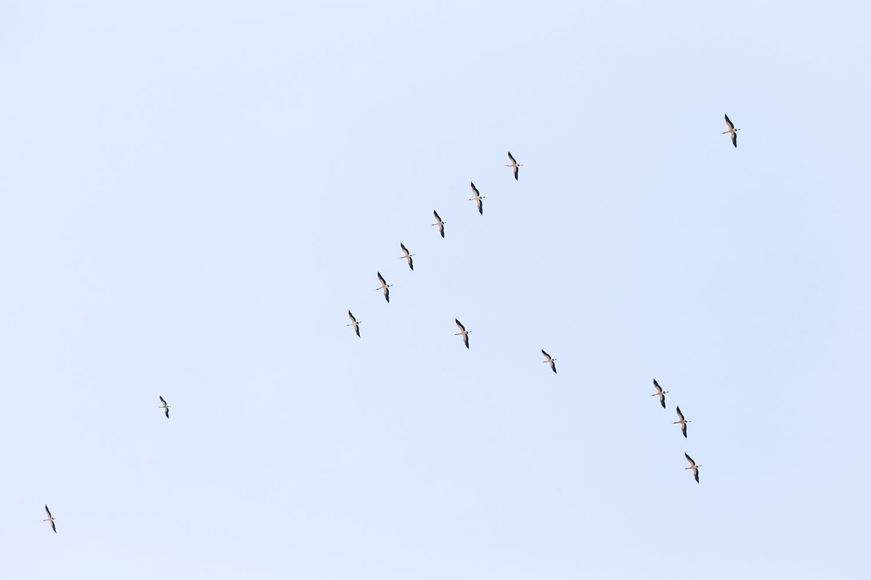 Cranes. Namibia